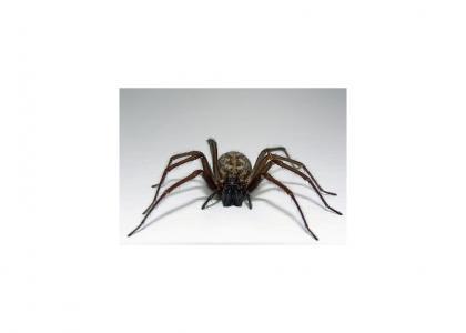 African Barking Spider