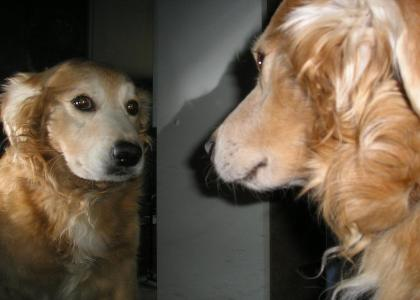 Golden Retriever Stares Into Selfs Soul