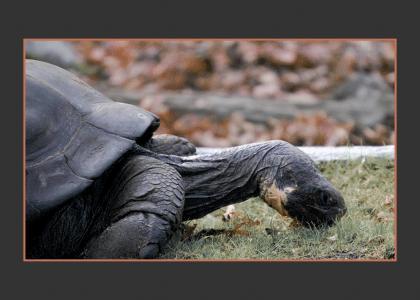 An undaunted turtle