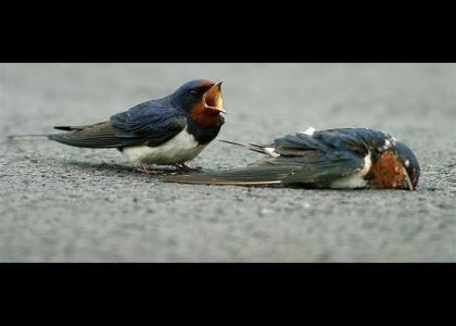 Swallows grieve for their fallen comrades.