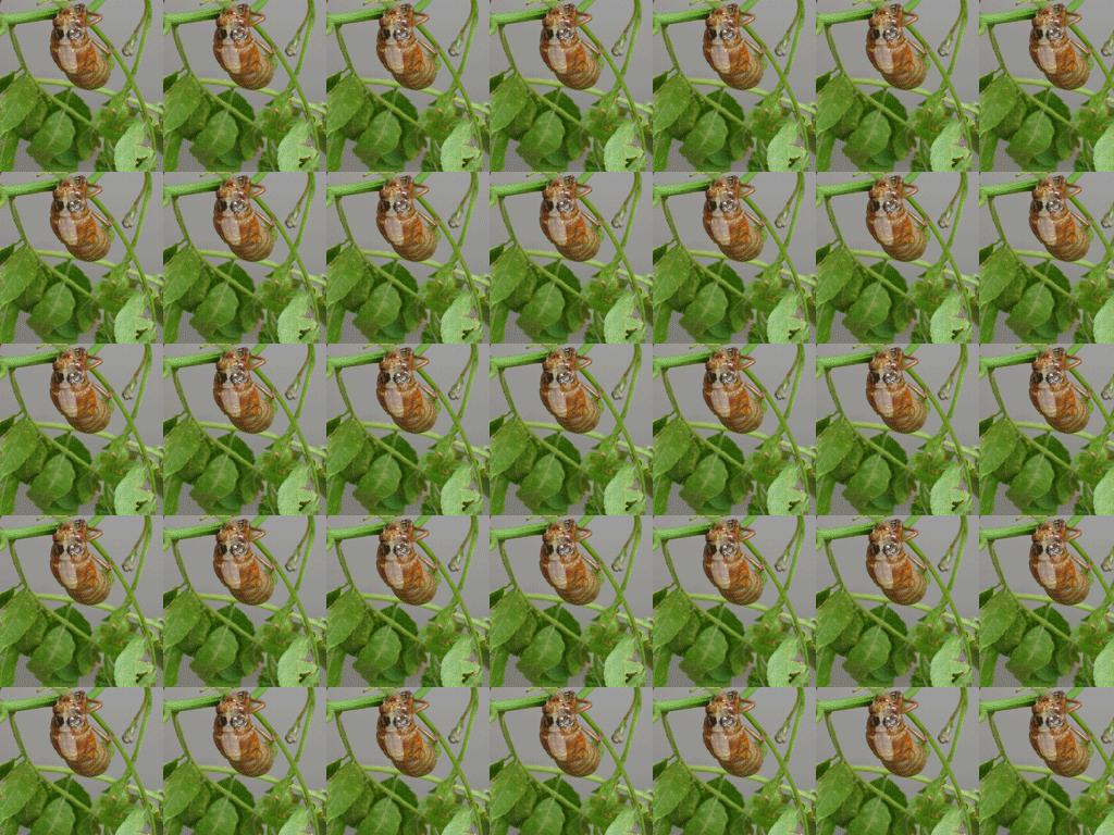 cicadaemerge