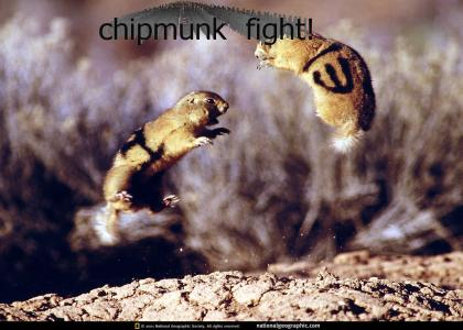 Chipmunk fight!