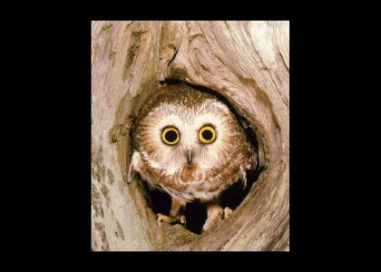 Owl Stares into your Soul