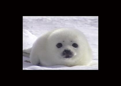 Baby Seal Stares Into Your Soul