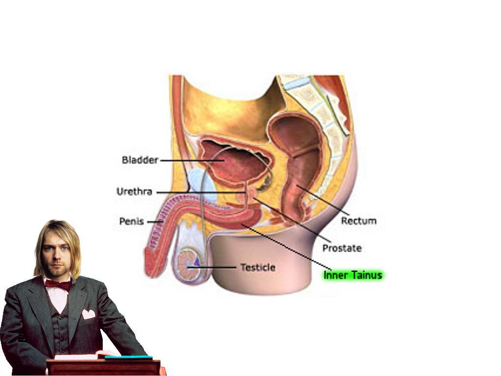 anewpartofthemalereproductivesystem