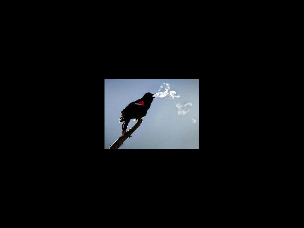 birdssmokeweed