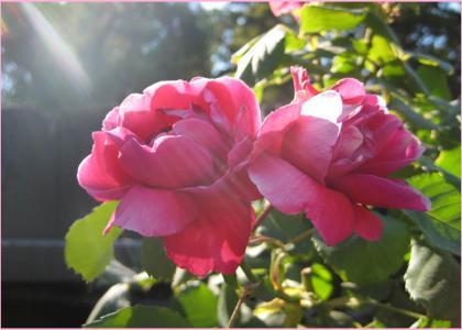 Sunbeams and Roses