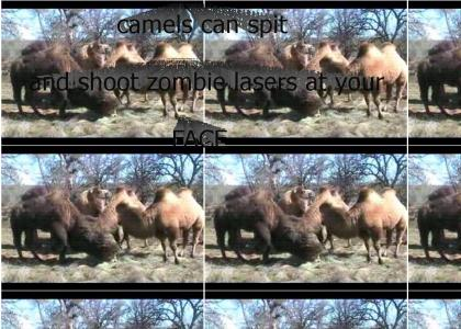 camels can shoot lasers at your face (refresh)