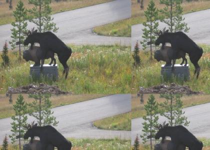 Moose have no class