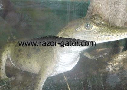 The Real razor Gator!