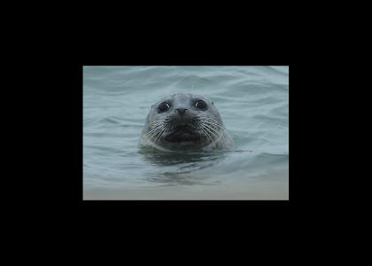 Seal stares into your soul