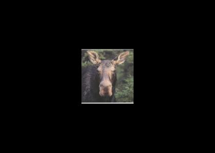 A Moose Stares into Your soul