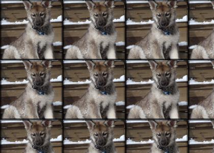 Wolf headbang