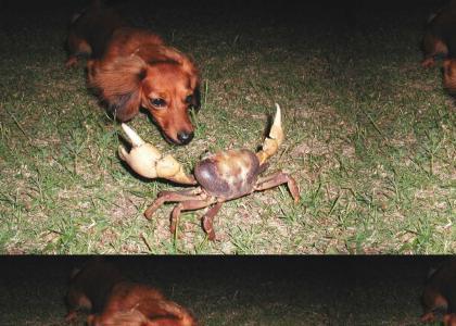 Real-life Crab Battle