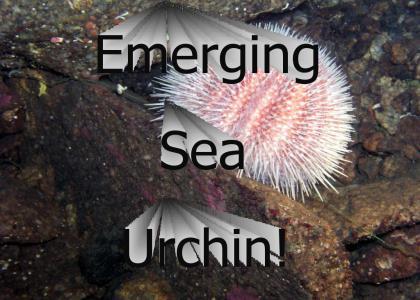 Emerging Sea Urchin!