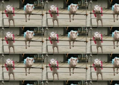 JUMPING PIGS!!!!!1!!!11!