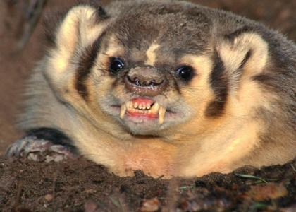 Badger Stares Into Your Soul...