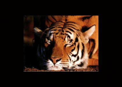 What do tigers dream of?