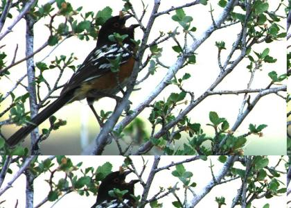 Metal Bird (Cry of the Spotted Towhee)