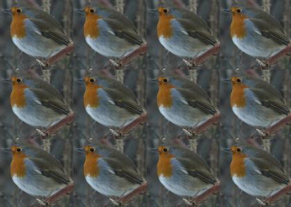 European Robin gets down