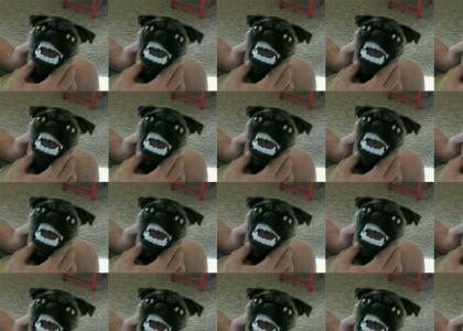 Delirious Pug